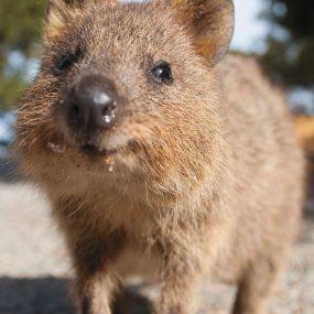 Rottnest Island's famous marsupial, the Quokka